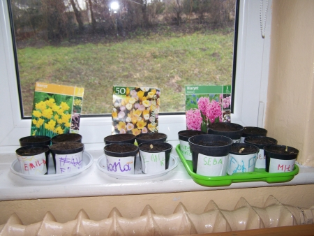 Sadzimy cebulki wiosennych  kwiatów